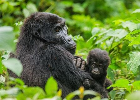 Opazovanje goril