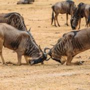 intrepid travel tanzania ngorongoro wildebeests lock horns small