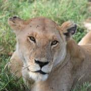 intrepid travel tanzania serengeti national park wildlife 5633 small