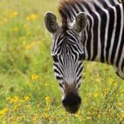 intrepid travel tanzania zebra close up small